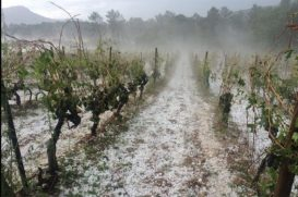 Hail hits vines near the Pic-St-Loup. Credit: Jérôme Despey / @jeromedespey / Twitter